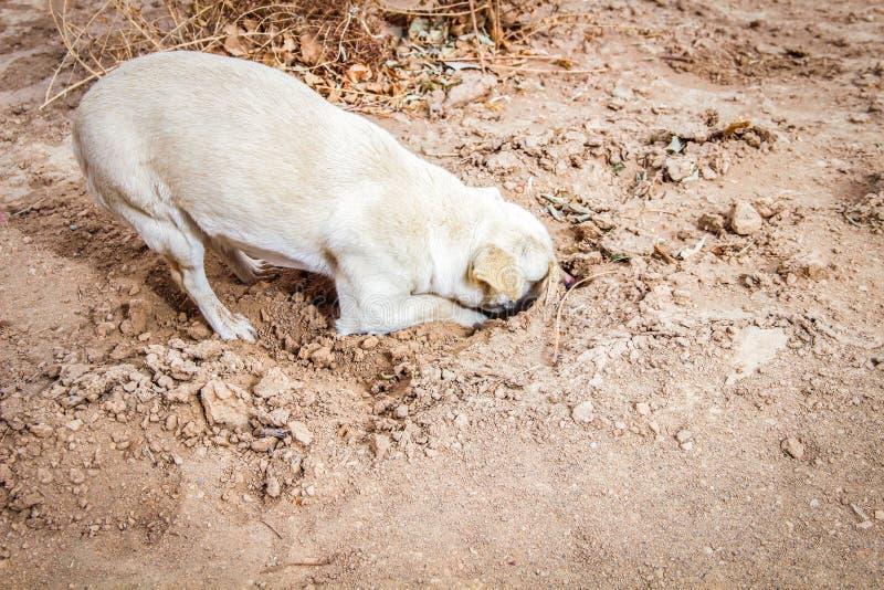 Psi głębienie jego głowa w piasku fotografia stock