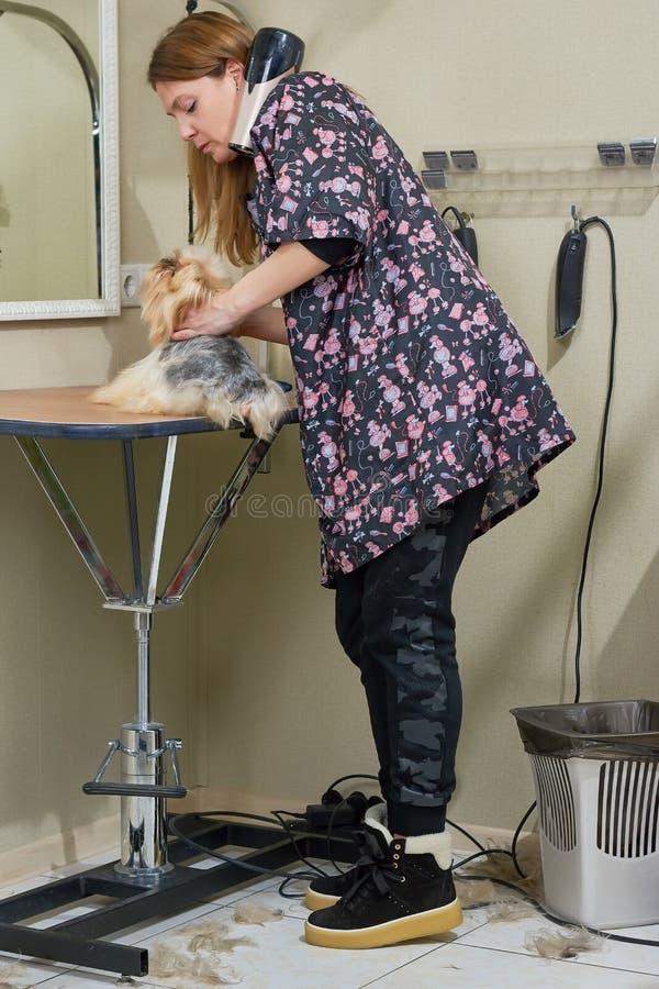 Psi groomer z York terierem zdjęcia stock