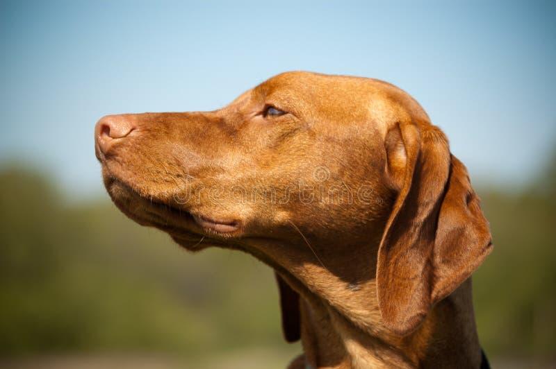 psi hungarian profilu vizsla fotografia stock