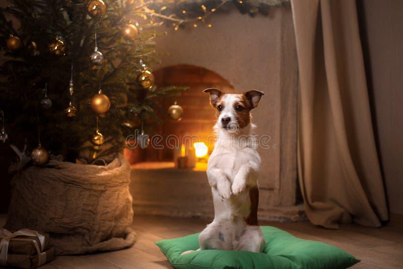 Psi Jack Russel Boże Narodzenie sezon 2017, nowy rok fotografia royalty free