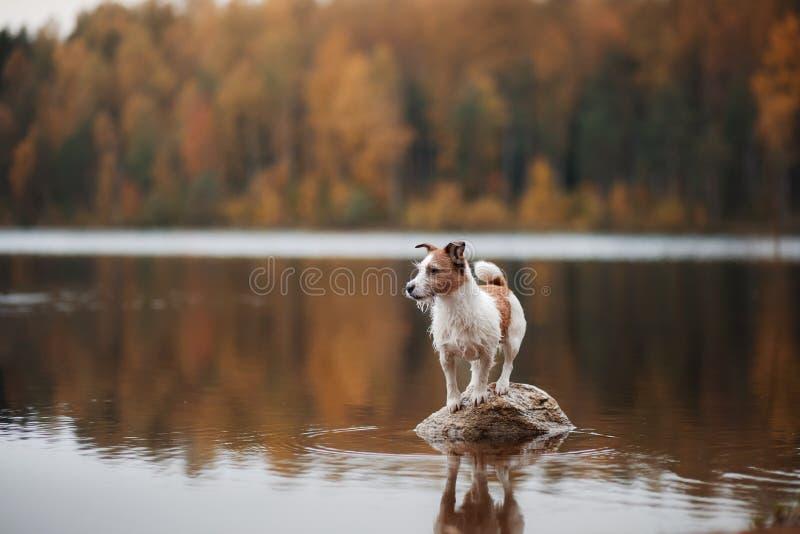 Psi Jack Russell Terrier na jeziorze zdjęcia royalty free