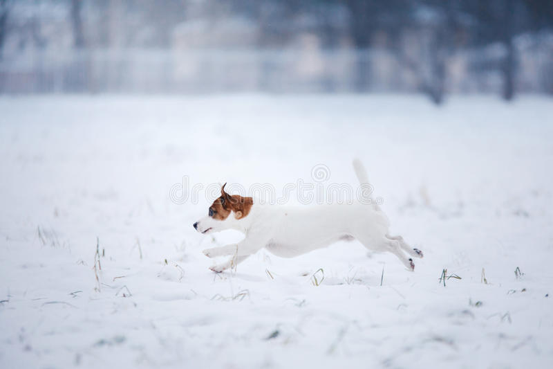 Psi Jack Russell Terrier, psi bieg outdoors zdjęcie royalty free