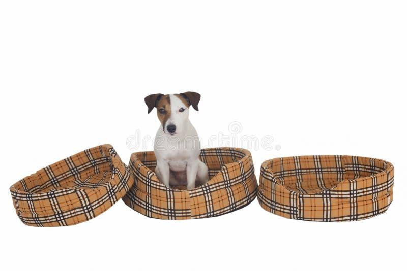 Psi Jack Russell w jego miejscu ławka obrazy stock