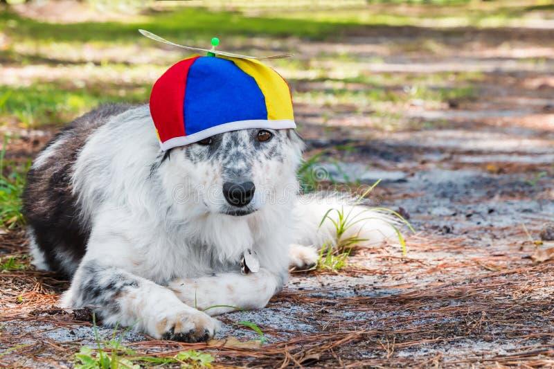 Psi jest ubranym śmigłowy beanie fotografia royalty free