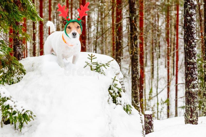 Psi jest ubranym kostium Santa klauzula ` s reniferowy Rudolph przy zimy Finlandia północnym lasem zdjęcia stock