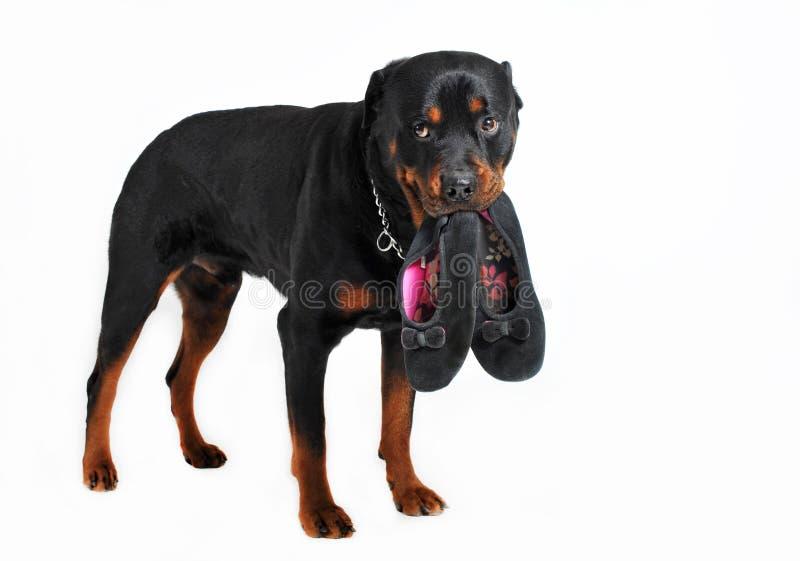 psi kapcie zdjęcia stock