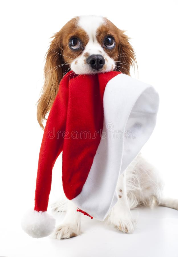 psi kapeluszowy Santa Boże Narodzenia są prześladowanym w studiu Biały tła królewiątka Charles spaniela pies Święta tła blisko cz zdjęcie royalty free