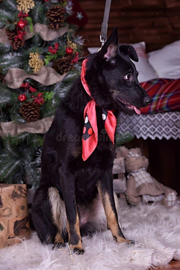 Psi kundel z czerwonym szalikiem wokoło jego szyi na Bożenarodzeniowym backgr fotografia stock
