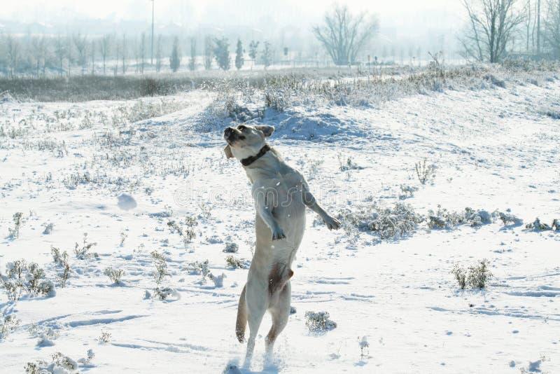 Psi Labrador retriever skakać plenerowy na śniegu w zimie chmury niebieskiego nieba patyk obraz royalty free