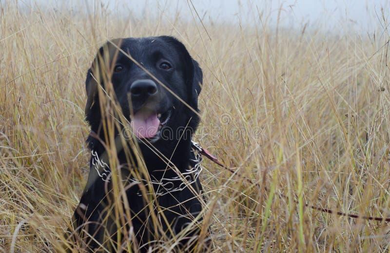 Psi labradora czerni natury portret zdjęcia stock