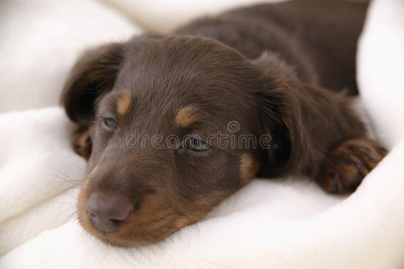 psi mały śpi fotografia stock