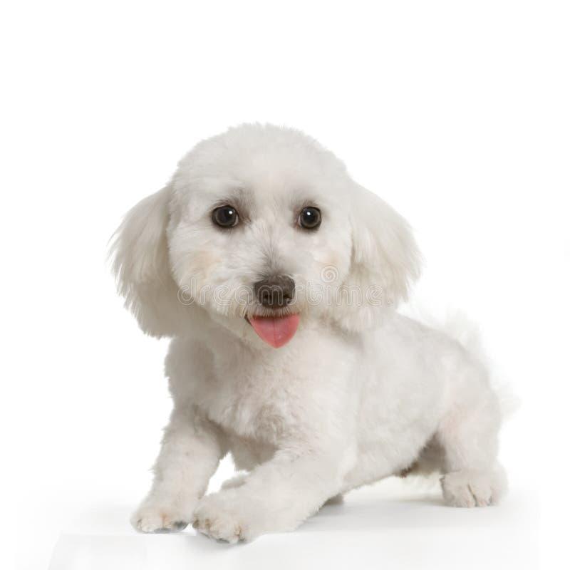 psi maltese zdjęcia stock