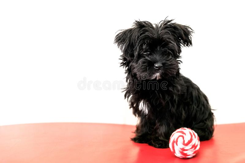 psi maltese szczeniak obrazy stock