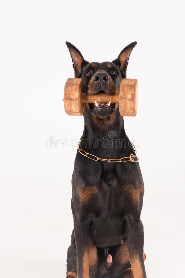 Psi mienia dumbbell z stuknięcia szkoleniem fotografia royalty free