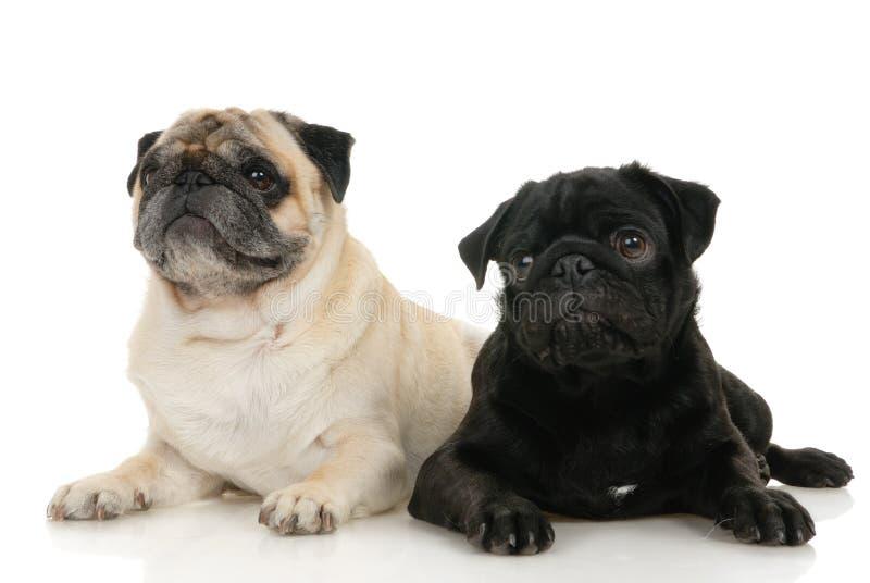 psi mops obrazy royalty free