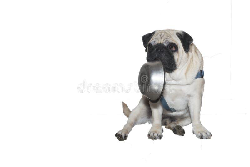 Psi mops z talerzem w jego usta obrazy royalty free