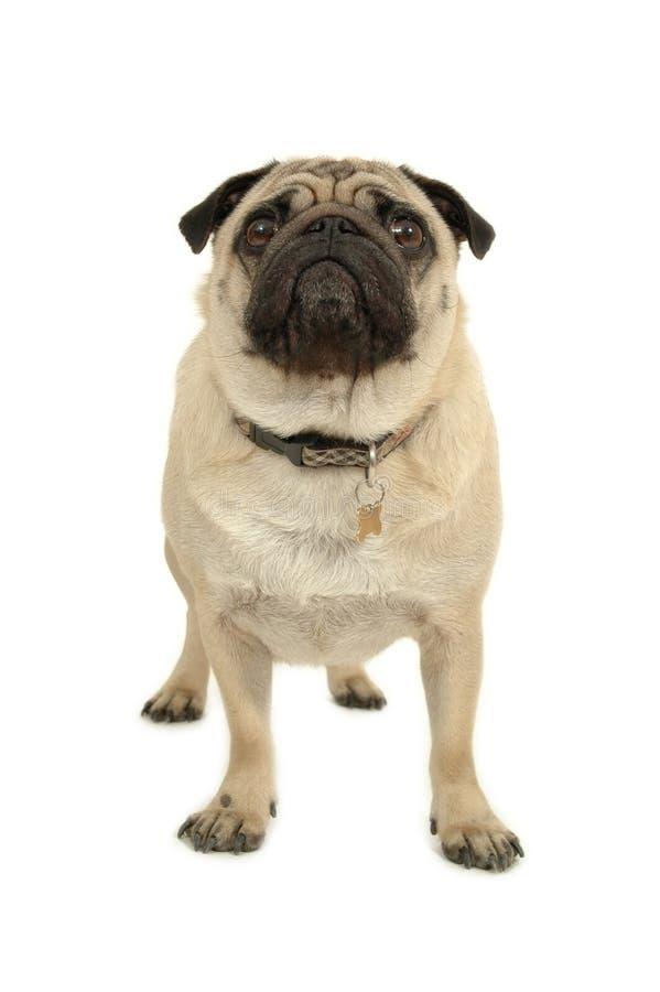 psi mopsa białe tło fotografia royalty free