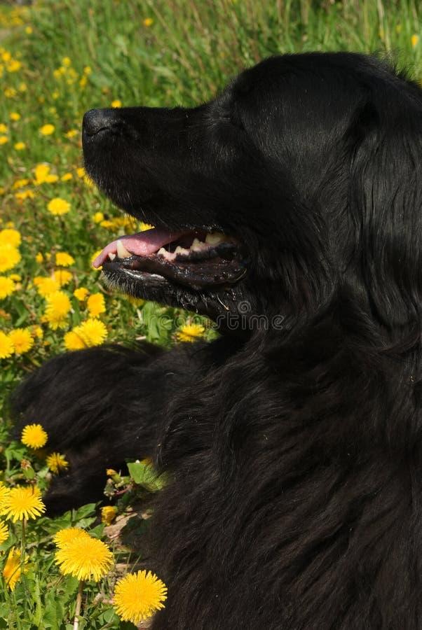 psi Newfoundland obrazy stock