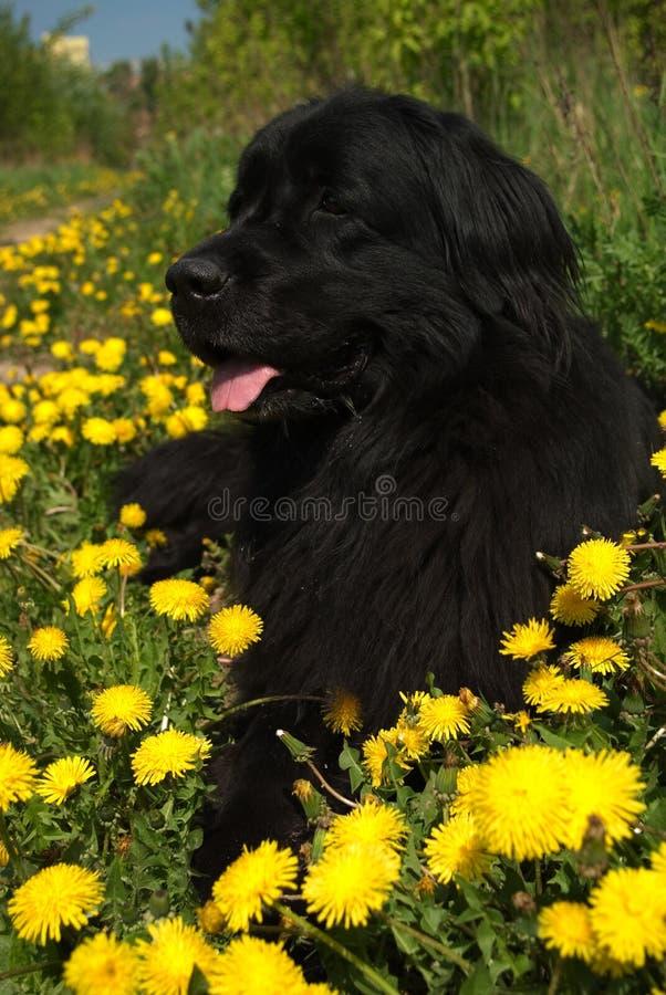 psi Newfoundland zdjęcia stock