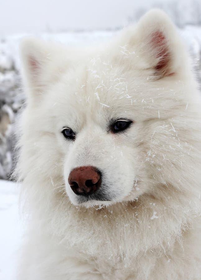 Download Psi śnieg obraz stock. Obraz złożonej z playing, duży - 5544919