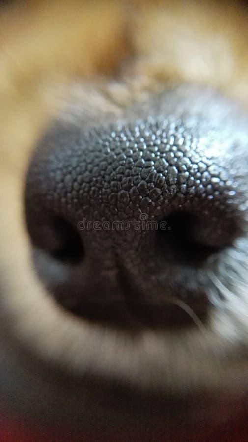 Psi nos zdjęcie royalty free