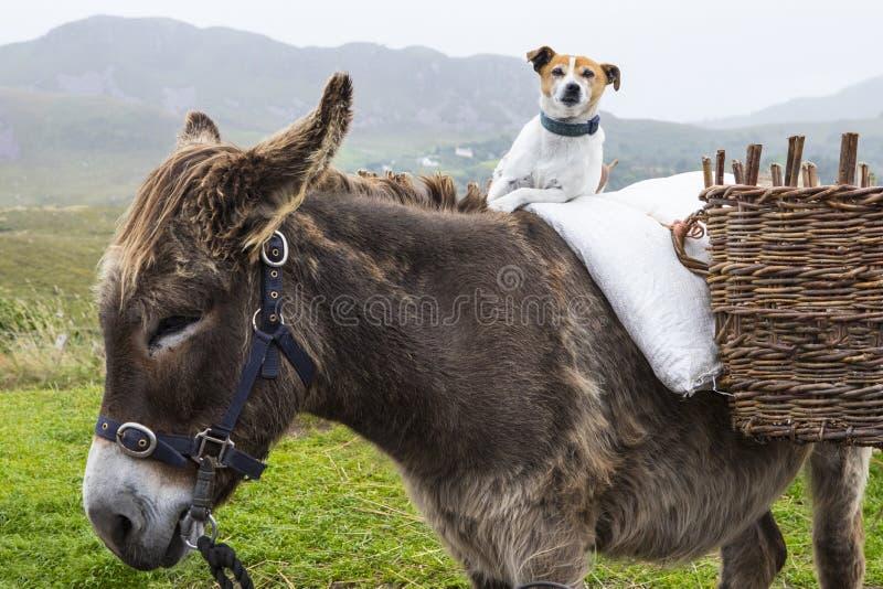 Psi obsiadanie na koniku w Irlandia zdjęcie stock