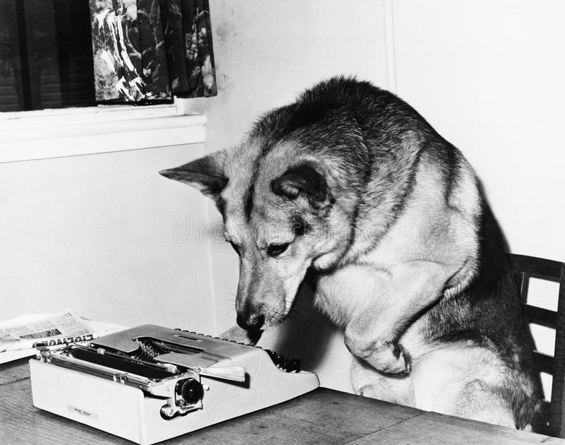 Psi obsiadanie na krześle patrzeje maszyna do pisania (Wszystkie persons przedstawiający no są długiego utrzymania i żadny nieruc obraz stock