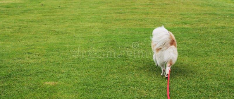Psi odprowadzenie zdjęcie stock
