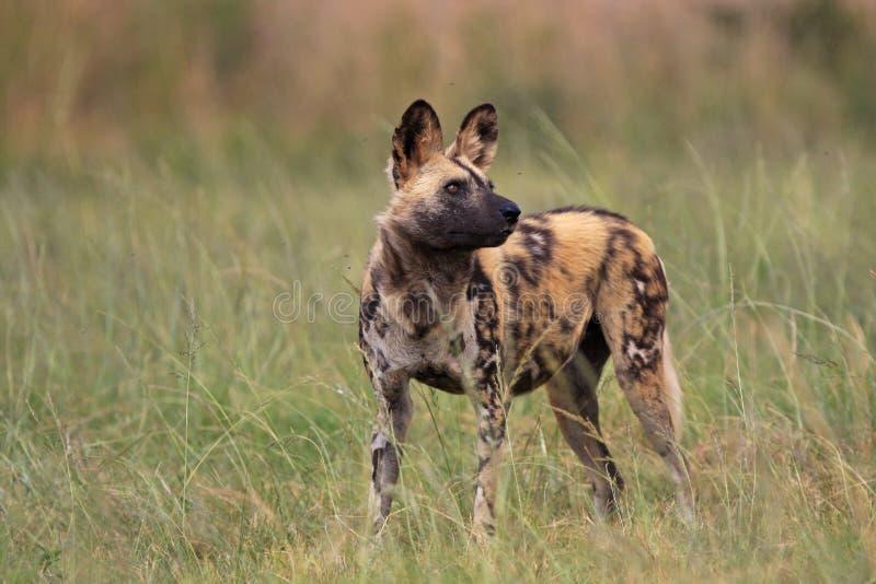 psi panafrykańskiego dziki zdjęcia royalty free
