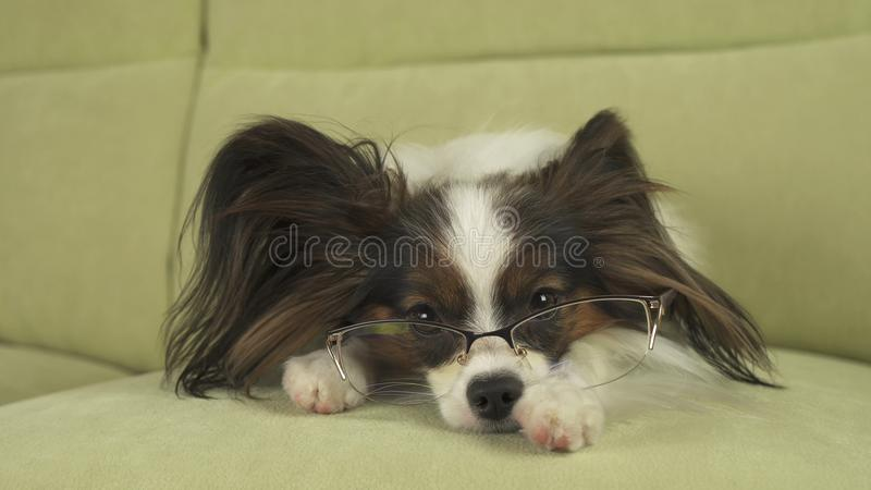 Psi Papillon pies w szkłach kłama na leżance na jego łapach i myśleć fotografia stock