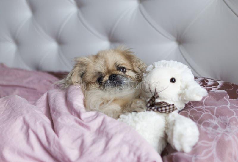 Psi pekińczyk kłama w łóżku zdjęcia stock