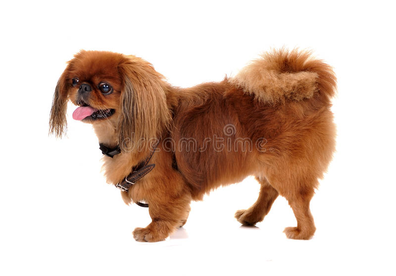 psi pekinese zdjęcie stock