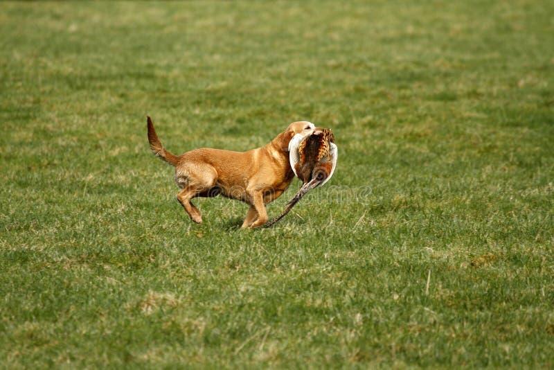 psi pistolet odzyskuje obraz stock
