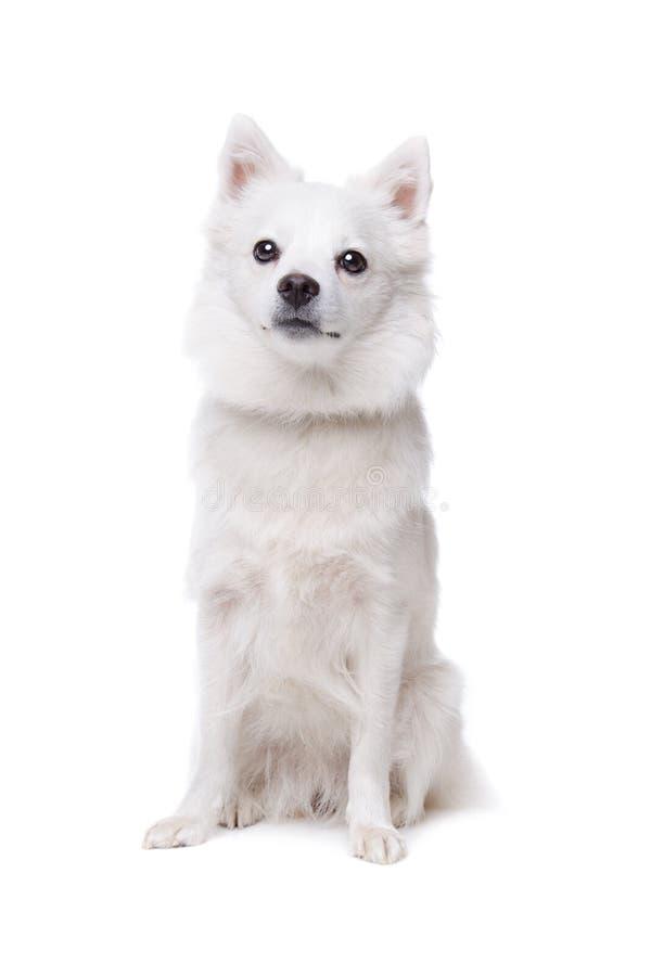 psi pomeranian biel obraz royalty free