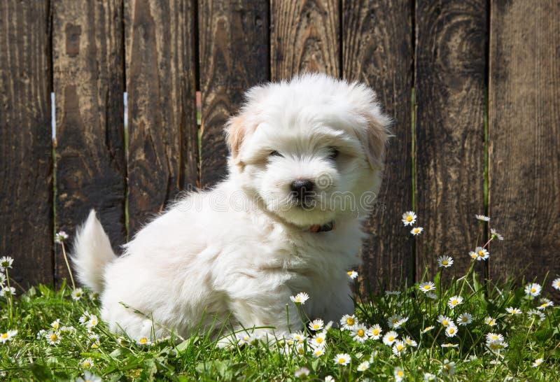 Psi portret: Śliczny dziecko pies - szczeniak Bawełna De Tulear zdjęcie royalty free