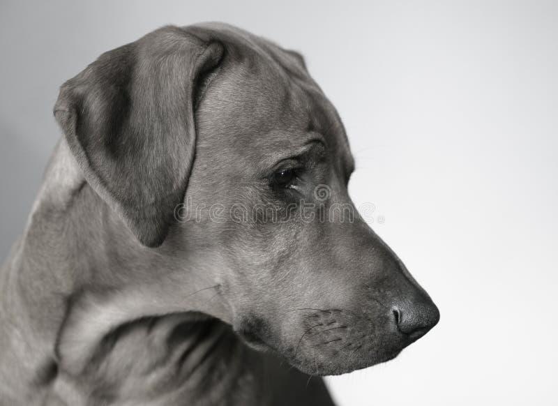 psi portret fotografia stock