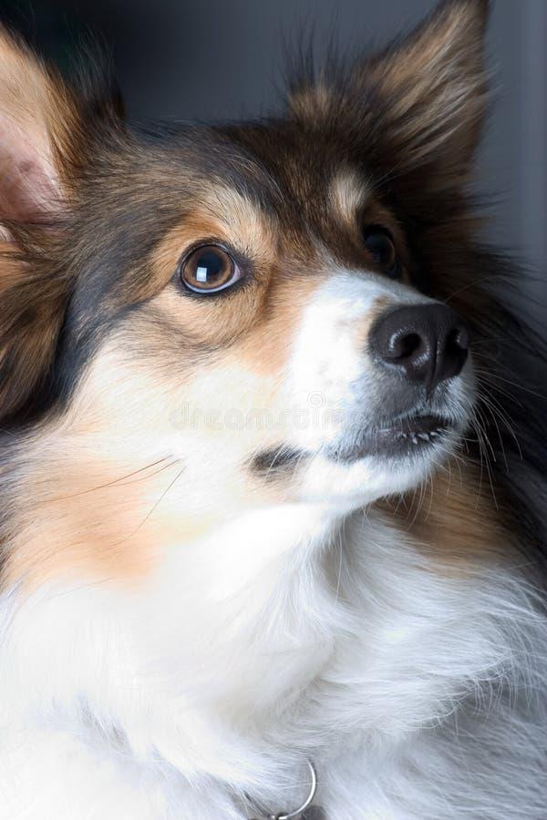Download Psi portret zdjęcie stock. Obraz złożonej z hairball, dębnik - 127092