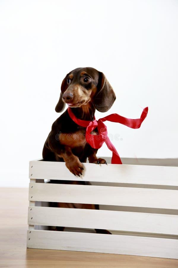 psi prezent zdjęcie stock