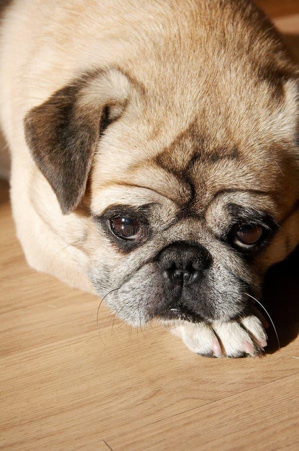 psi przybity szczeniak obraz royalty free