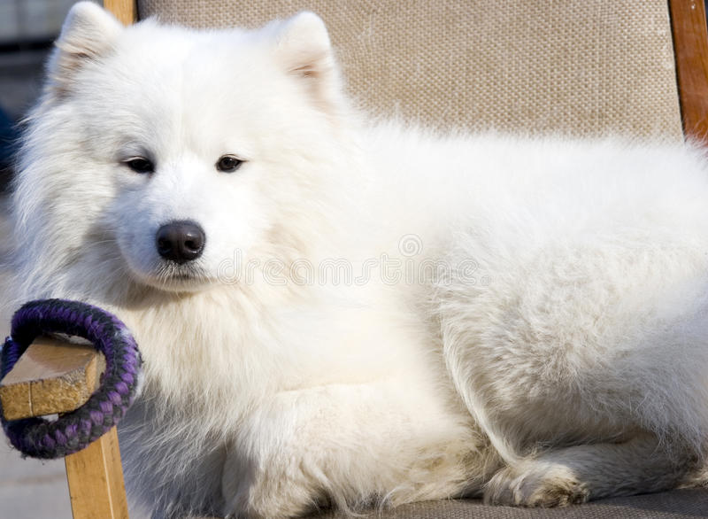 psi puszka kłamstw śniegu biel zdjęcia stock