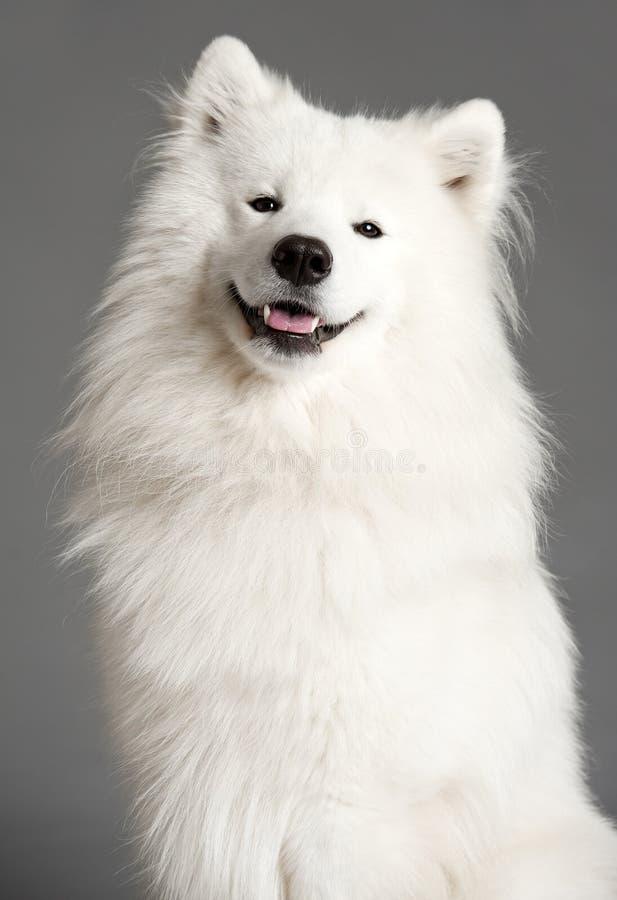 Psi samoyed