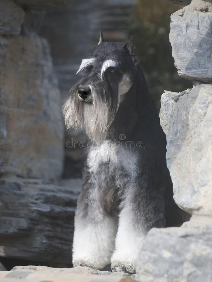 psi schnauzer zdjęcie stock