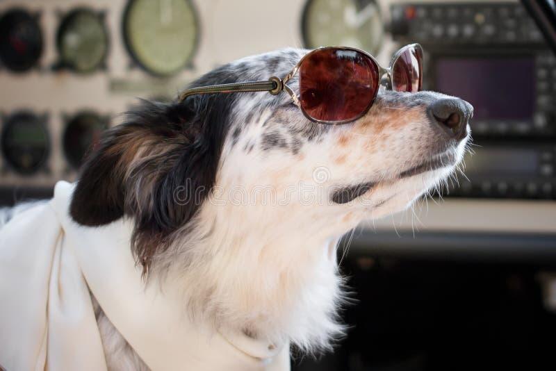 Psi siedzący puszek jest ubranym okulary przeciwsłonecznych i szalika w kokpicie zdjęcia stock