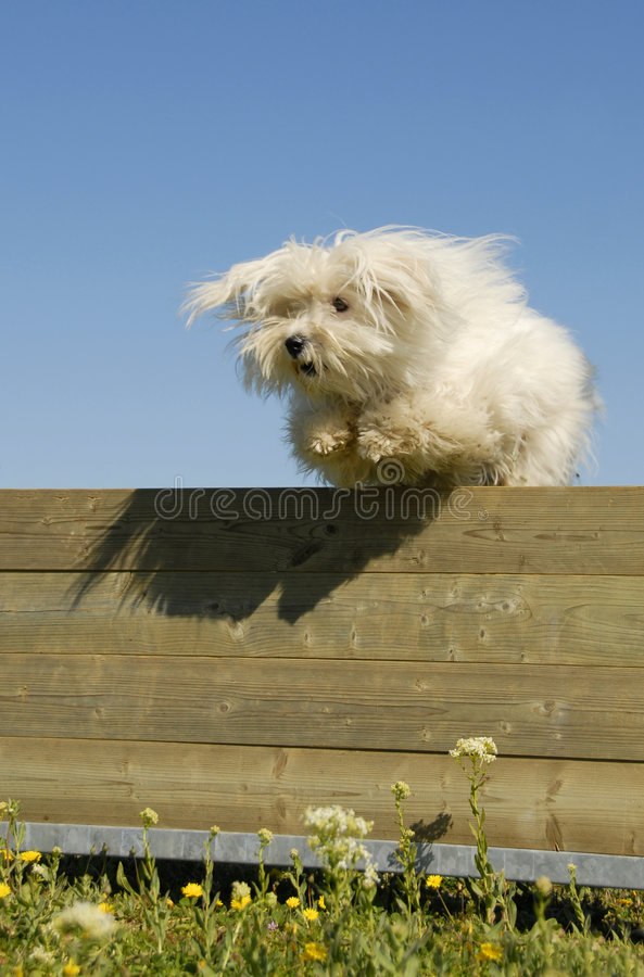 psi skokowy maltese obrazy royalty free