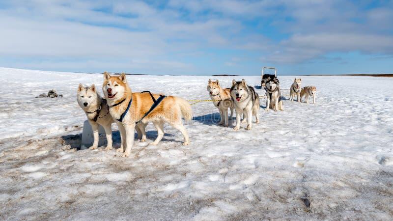 Psi sledding Łuskowaty czekanie zdjęcia royalty free