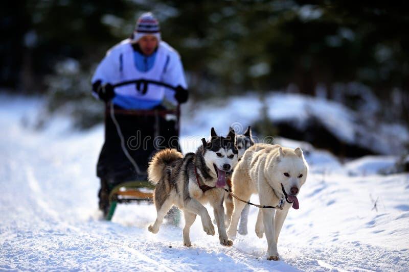 Psi sledding z husky zdjęcie royalty free