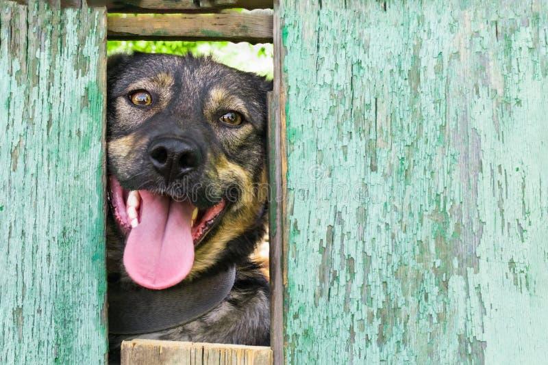 Psi spojrzenie przy outside od dziury w starym podławym bławym drewnianym ogrodzeniu, copyspace obraz stock