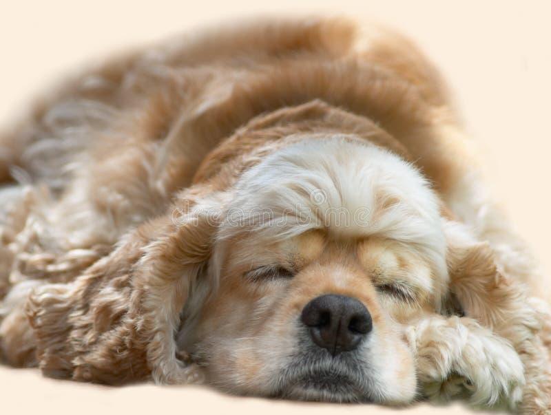 psi sypialni young obraz royalty free
