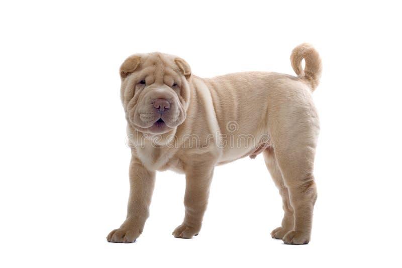psi szczeniak pei shar zdjęcie stock