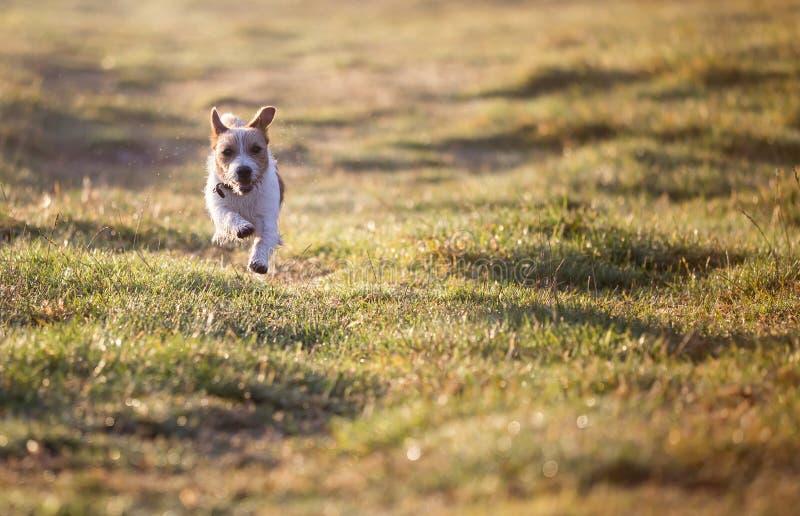 Psi tło - szczęśliwy dźwigarki Russell zwierzęcia domowego szczeniaka bieg obrazy stock